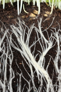 how roots absorb water