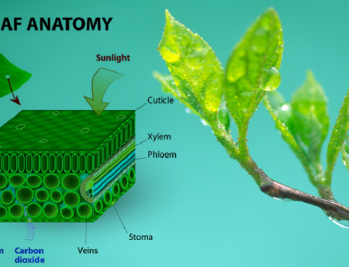 Anatomy of the Leaf pt. 2