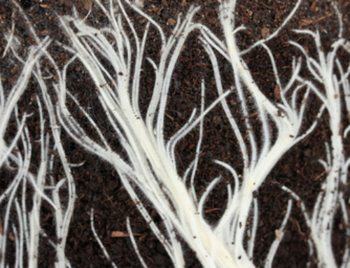 How Plant Roots Absorb Water