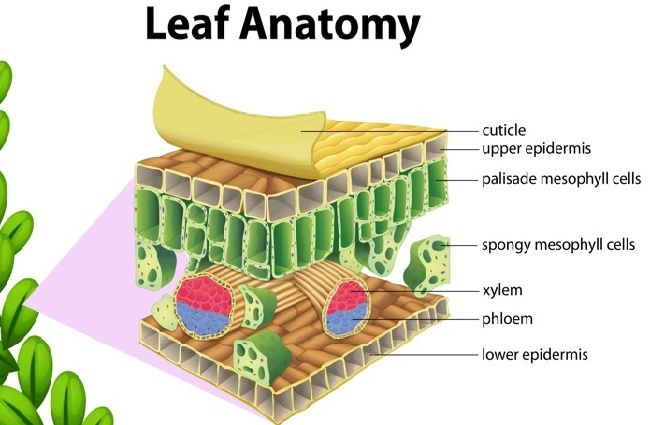 Anatomy of the Leaf